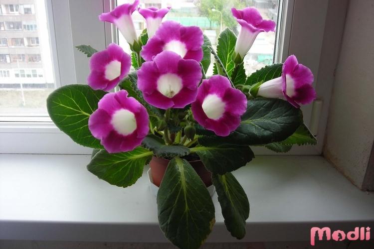 Колокольчики цветы (фото сортов) - описание уход и