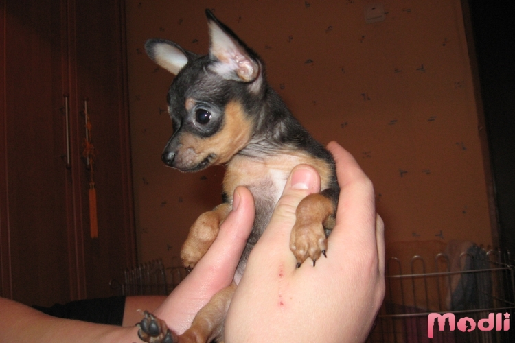 щенок тойтерьера