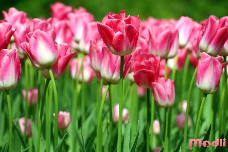 Тюльпаны на лугу