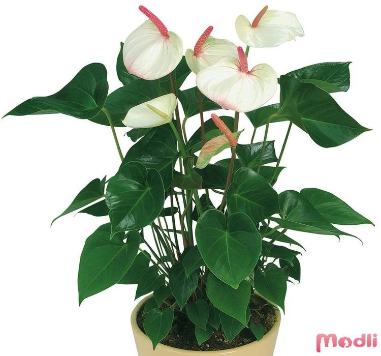 Антуриум с белым цветением