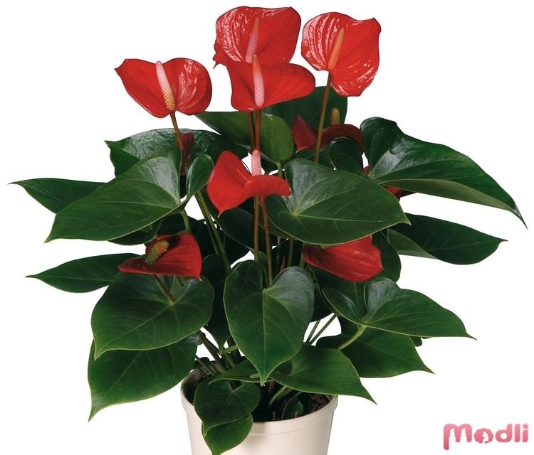 Антуриум с красным цветением