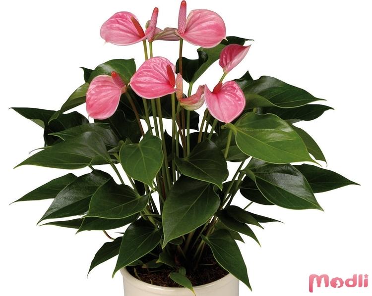 Комнатные цветы с названиями и фото антуриум как за ним ухаживать