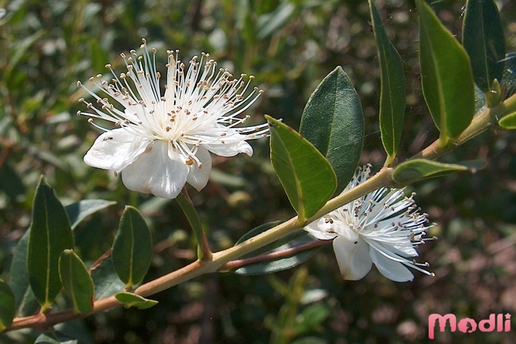 Цветение миртового дерева