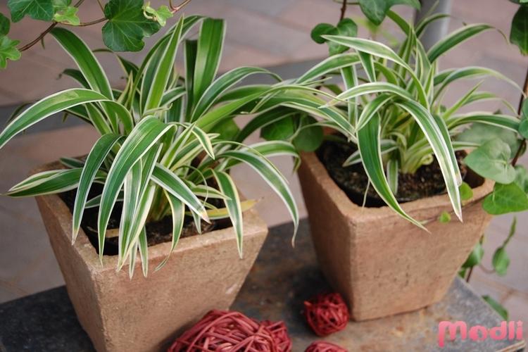 Уход за цветком хлорофитум домашних условиях