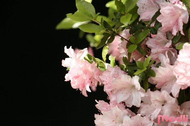 Азалия пышноцветущая
