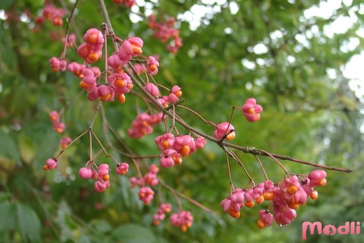 Плоды берсклета