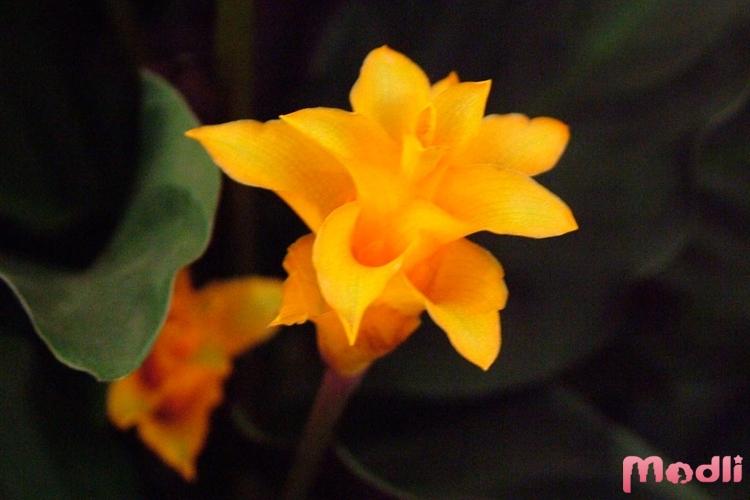 Цветок калатеи