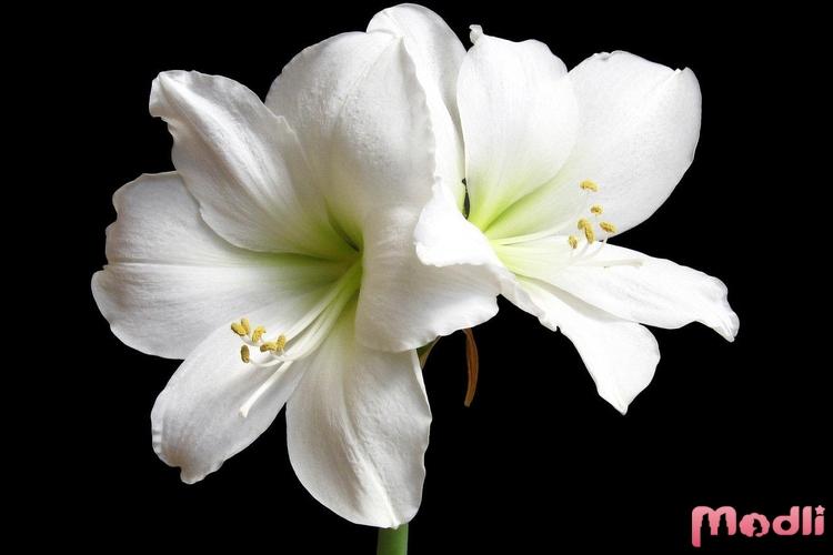 Белый цветок амариллиса