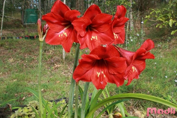 Амариллис в саду