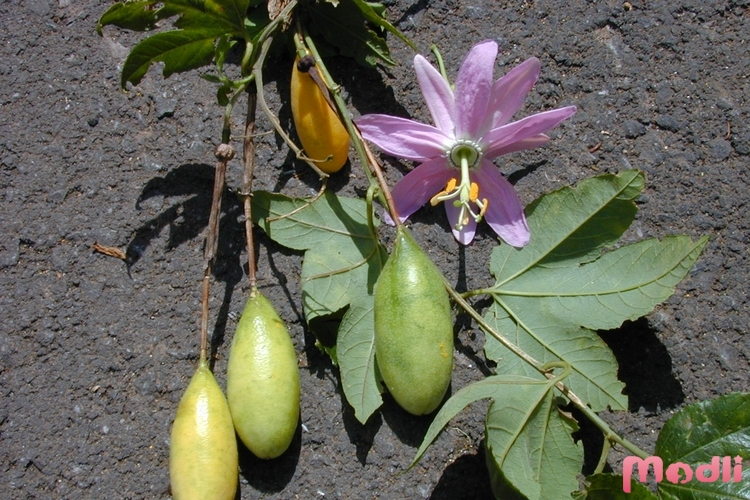 Страстоцвет банановый