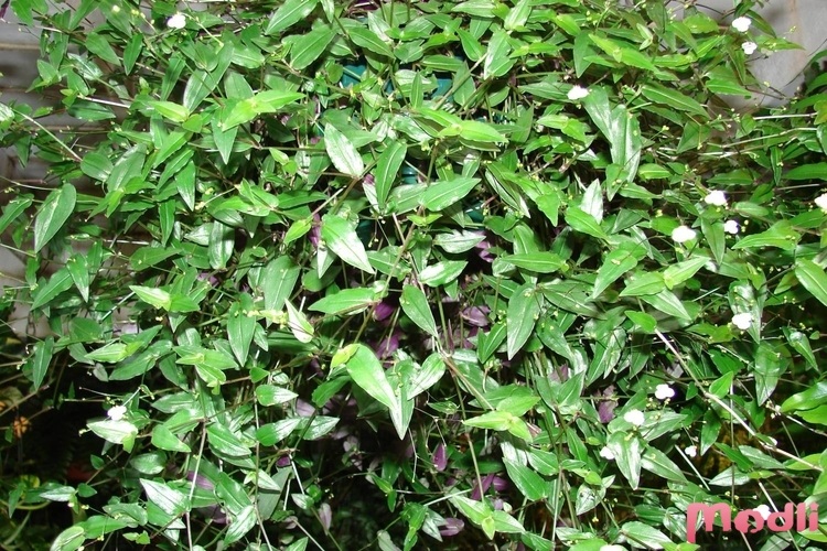 Tradescantia multiflora