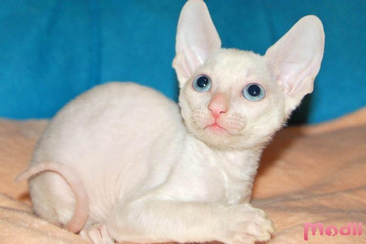 Котёнок корниш-рекса